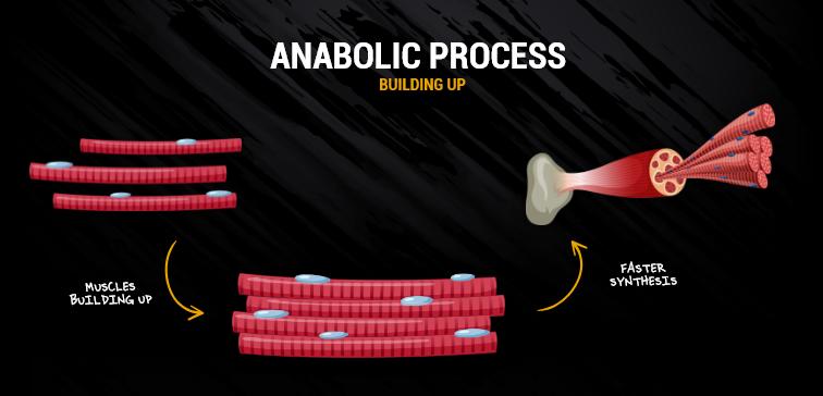 anabolic_process
